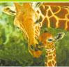 Giraf niger